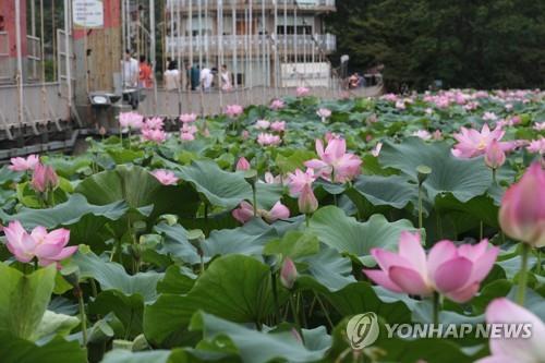 연꽃 보러 가세…전주 덕진공원서 13∼14일 문화제