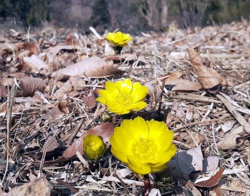 [픽! 포천] 봄 전령사 얼음새꽃이 피었습니다