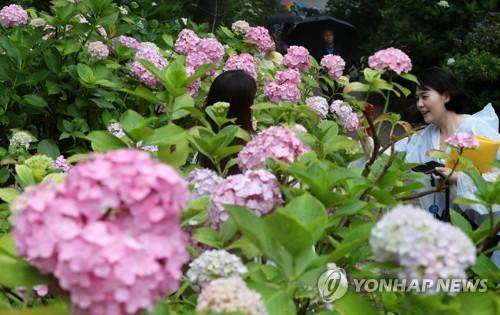 [#꿀잼여행] 영남권: 태종사에도, 김해 수안마을에도 흐드러지게 핀 수국 꽃