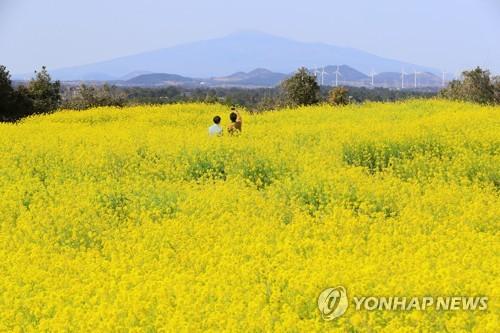 [#꿀잼여행] 제주권: 노란 꽃들은 파도 소리와 바닷바람을 끌어안고서…