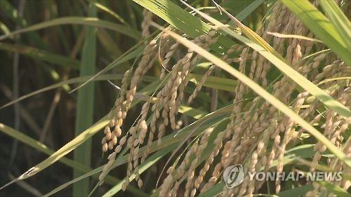 This file photo shows rice at a paddy. (Yonhap)