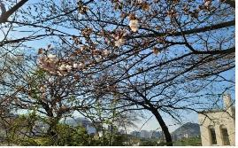 This photo, provided by the Korea Meteorological Administration on March 25, 2021, shows the year's first cherry blossoms in Seoul. (PHOTO NOT FOR SALE) (Yonhap)