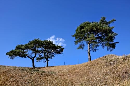 마을 끄트머리 언덕배기에 있는 소나무 [사진/권혁창 기자]
