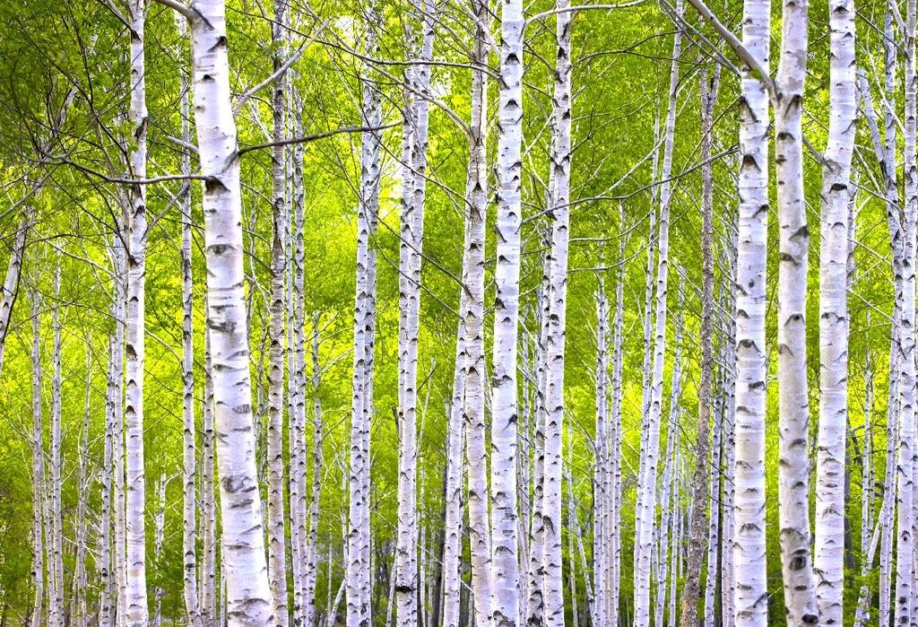 죽파리 자작나무숲 [사진/성연재 기자]