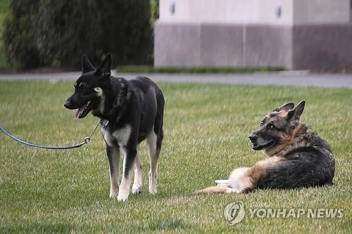 조 바이든 미국 대통령의 반려견인 챔프(오른쪽)와 메이저 [AP=연합뉴스 자료사진]