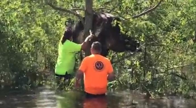 홍수에 떠내려가다 나무 위에 걸린 소
