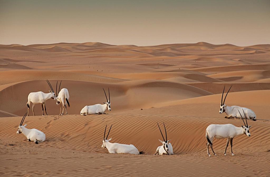 사막보존보호구역의 아라비아 오릭스 [두바이관광청 제공]