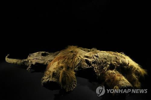 시베리아 동토에서 발굴된 털북숭이 매머드 '유카'