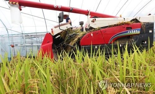 Season's first rice harvesting