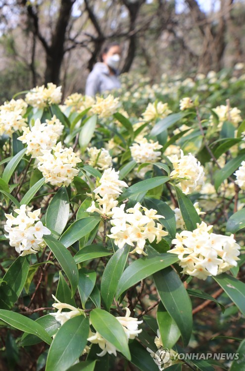 White daphne in bloom